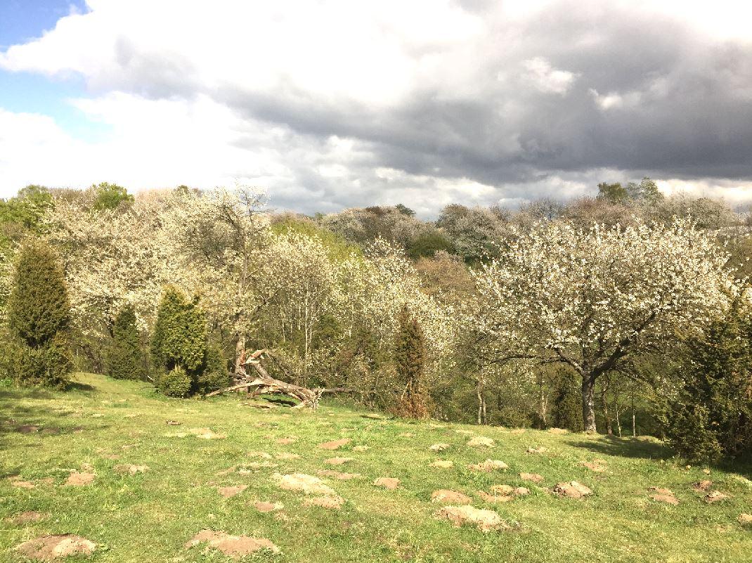 körsbärsdalen veberöd blommar